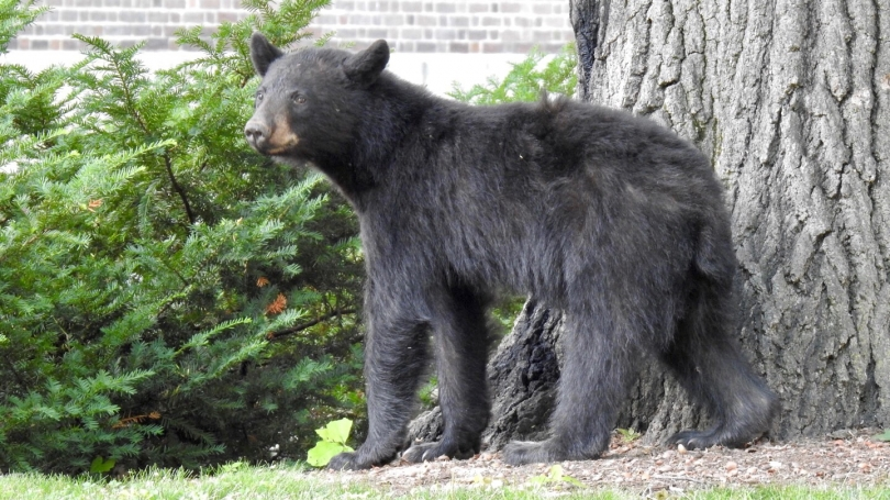 Bear in tree on campus