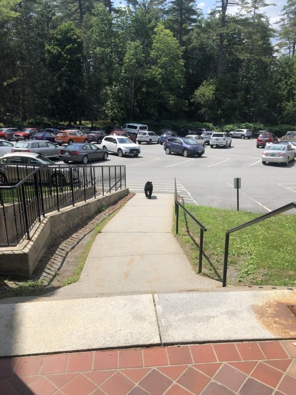 Black bear on Dartmouth campus